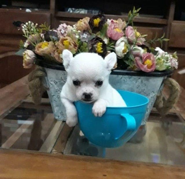 Chihuahua macho branco  - Foto 2