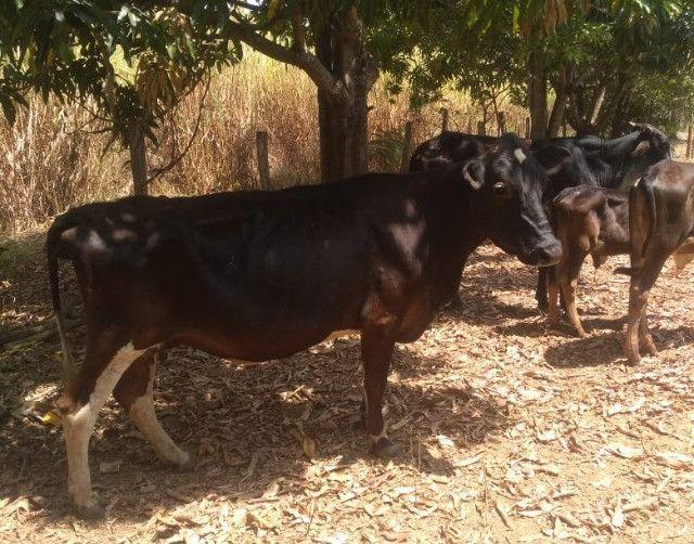 Vaca, novilha e bezerros