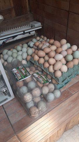 Ovos galados Brahma dark, pescoco pelado puro,orpton
