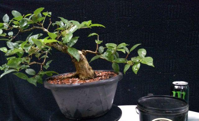 Pré bonsai de pitangueira