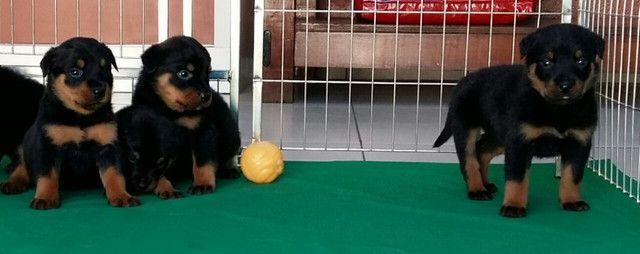 Lindos E Robustos Filhotes De Rottweiler Chame E Confira Canil Império - Foto 6