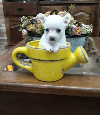 Chihuahua macho branco  - Foto 3