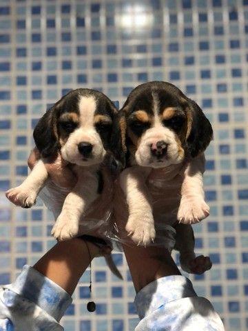 Beagle tricolor macho e femea - venha realizar esse sonho  - Foto 3