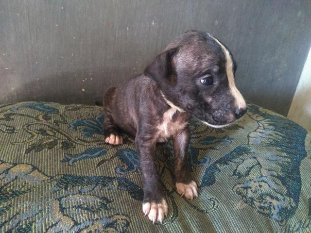 Vendo filhote de pitbull $ 500,00 - Foto 3