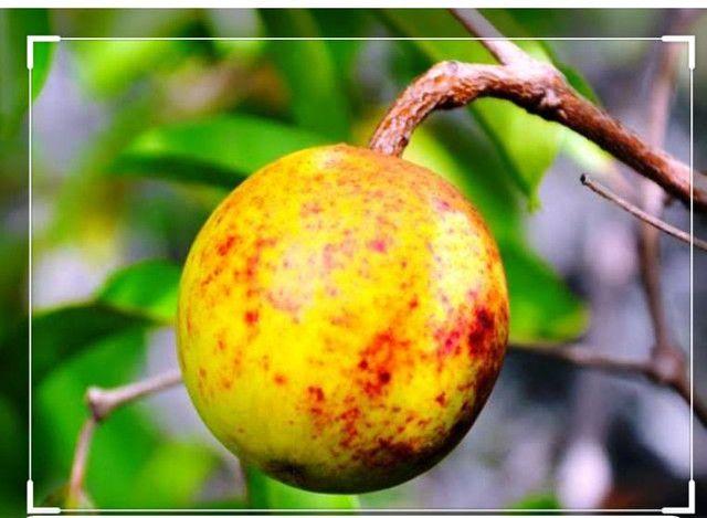 Polpas de Frutas concentradas direto da Bahia - Foto 3