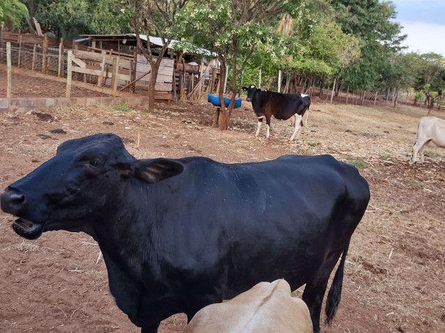Vende se vaca