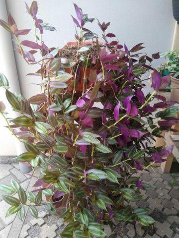 Planta Lambari roxa +/- 1mt  - Foto 4