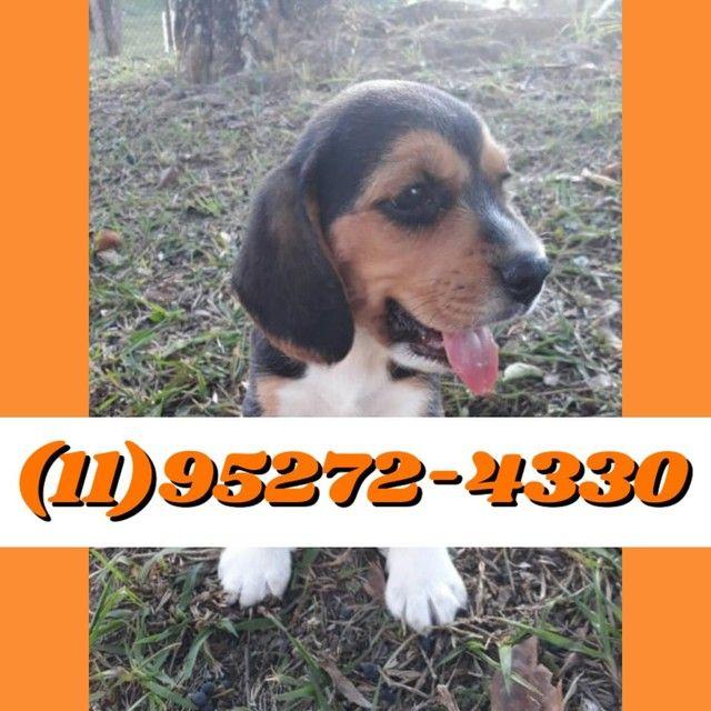 Os filhotes mais lindos de Beagle macho tricolor disponível só aqui