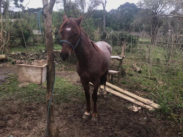 Vendo cavalo criolo - Foto 5
