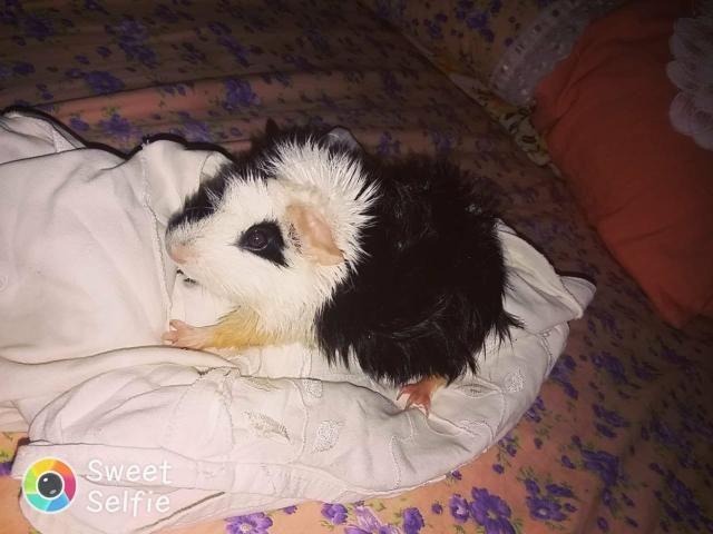 Porquinho da India - Foto 3