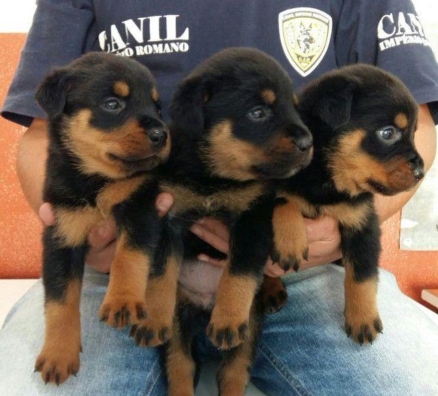 Lindos E Robustos Filhotes De Rottweiler Chame E Confira Canil Império - Foto 3
