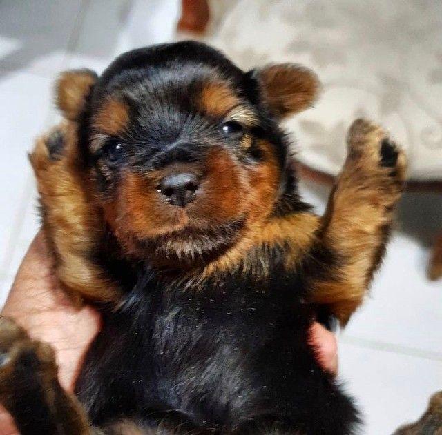 Yorkshire Terrier Machos - Foto 2