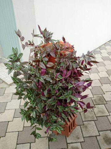 Planta Lambari roxa +/- 1mt