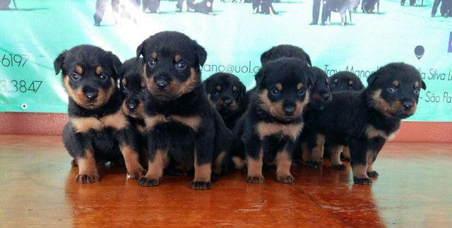 Lindos E Robustos Filhotes De Rottweiler Chame E Confira Canil Império - Foto 5