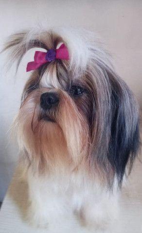 Fêmea adulta de shih tzu. Com pedigree cbkc - Foto 2