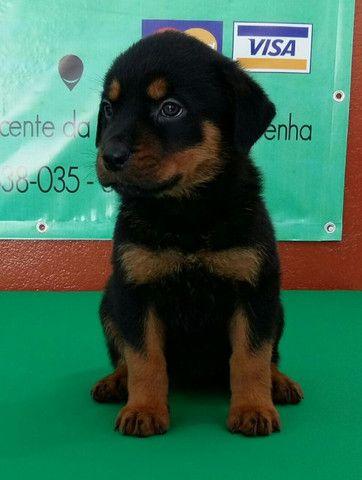 Cão Ideal Para Sua Segurança E De Sua Família Chame Canil Império E Garanta Seu Rottweiler - Foto 3