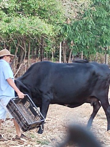 Vende se vaca - Foto 3