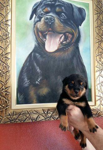 Lindos E Robustos Filhotes De Rottweiler Chame E Confira Canil Império - Foto 4