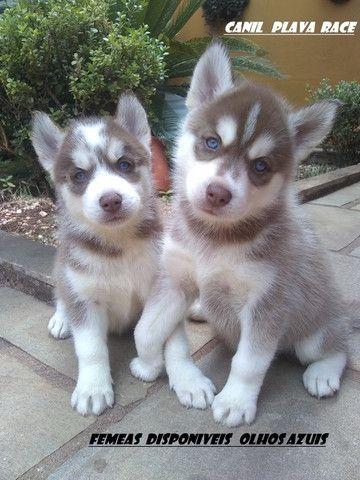 Husky Siberiano : Machos e Femeas Wooly olhos azuis