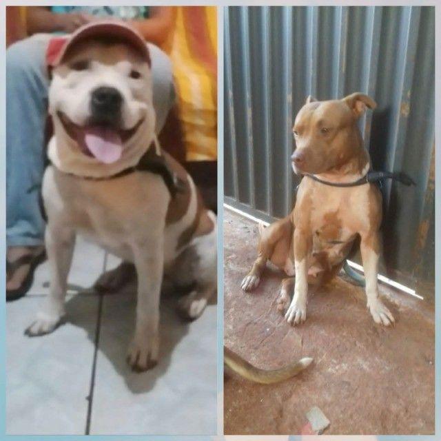 filhote de pit bul a venda 45 dias Ituiutaba  - Foto 3