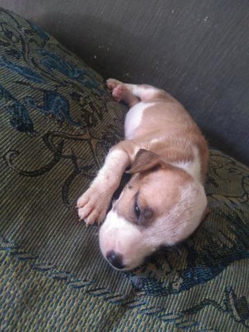 Vendo filhote de pitbull $ 500,00 - Foto 6