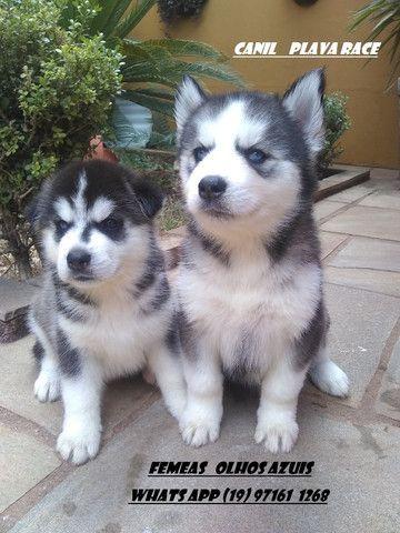 Husky Siberiano : Machos e Femeas Wooly olhos azuis - Foto 2