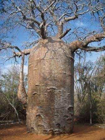 Muda de Baobá - Foto 5