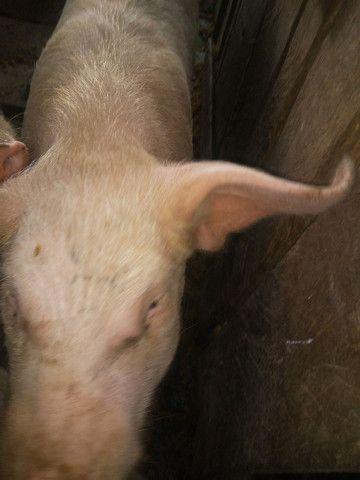 Vendo porco gordo ..vivo...ou carneado