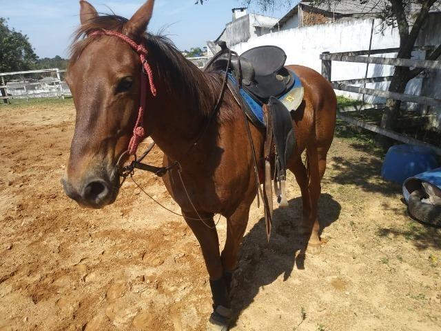 Cavalo Quarto de Milha - Foto 2
