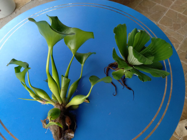 Aguape ou alface dagua - Foto 3