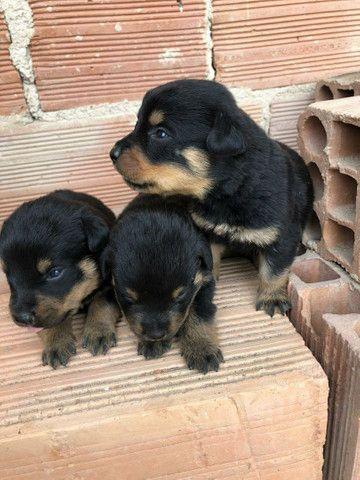 Vende-se filhotes de rottweiler  - Foto 2