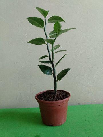 Vendo várias variedades de plantas  - Foto 2