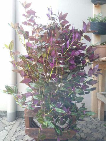 Planta Lambari roxa +/- 1mt  - Foto 5