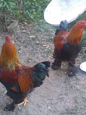 Galos e galinhas de raça - Foto 6
