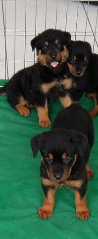 Cão Ideal Para Sua Segurança E De Sua Família Chame Canil Império E Garanta Seu Rottweiler - Foto 4