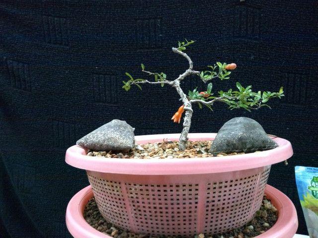Pré bonsai mini romã