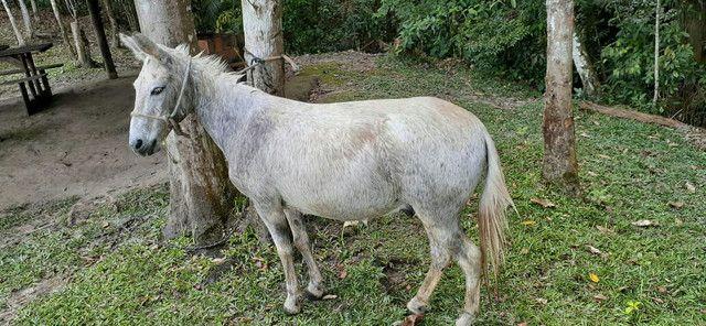 Vendo burro  - Foto 5