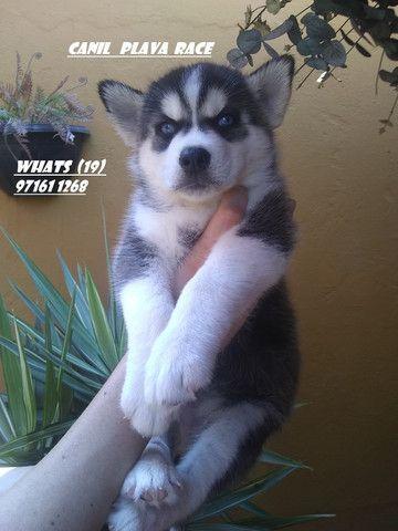 Husky Siberiano : Femeas e machos dividimos no cartao lindos !!! - Foto 2