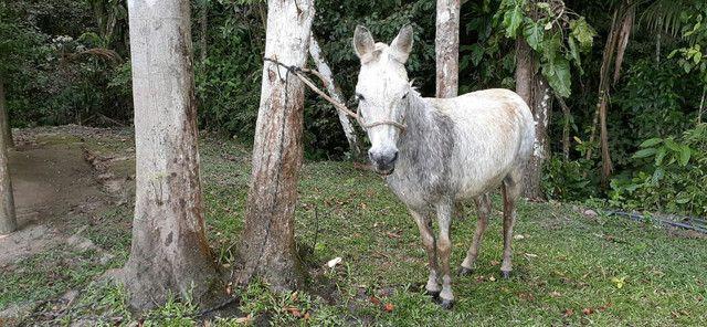 Vendo burro  - Foto 4