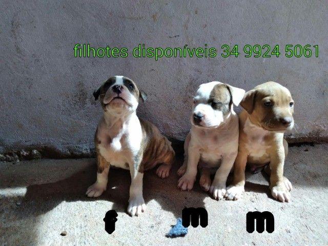 filhote de pit bul a venda 45 dias Ituiutaba  - Foto 6