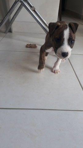 Vendo filhote de Pitbull puro - Foto 2