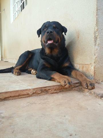 Rotweiller puríssimo com quase um ano, Ótimo cão de Guarda e divertido com os donos