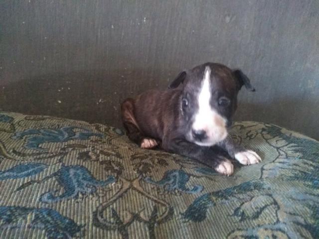 Vendo filhote de pitbull $ 500,00 - Foto 2