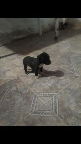 Vendo lindos filhote de american pit bull terrier