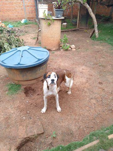 Filhotes de cachorro Boxer a venda - Foto 6