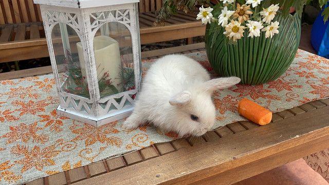 Filhote de mini lion branco