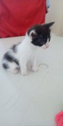 Gatinho Siamês quer um dono - Foto 3