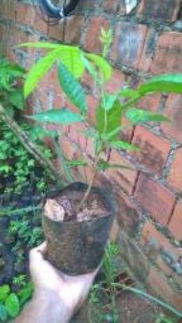 Rambutan vermelho e amarelo e mudas de cacau vermelho e engar de meio metro - Foto 5