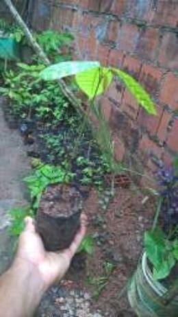 Rambutan vermelho e amarelo e mudas de cacau vermelho e engar de meio metro - Foto 2