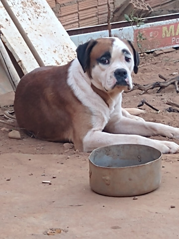 Filhotes de cachorro Boxer a venda - Foto 4